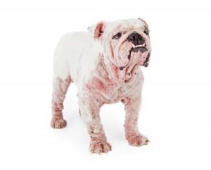 Hautprobleme bei Hunden.